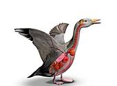 Bird internal anatomy, illustration