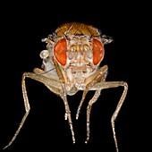 Mutant fruit fly