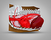 Dog heart, lungs and liver, 3D CT scan
