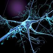 Nerve cell and dendrites, illustration