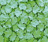 Olive leaf trichomes, SEM