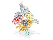 Telomerase active site bound to DNA, molecular model