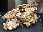 Hyena skull fossil