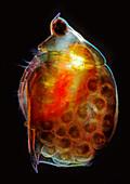 Water flea and eggs, light micrograph
