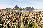 Split cod fish drying in the sun on wooden racks in the town of Reine (Lofoten Islands, Arctic, Norway, Scandinavia)