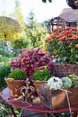 Topf-Arrangement mit Chrysantheme, Purpurglöckchen, Hebe und Kürbissen