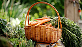 Freshly picked carrots in a basket