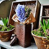 Hyazinthenblüte mit Buchs in rostiger Blechdose