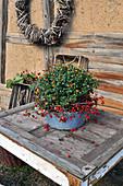 Chrysantheme dekoriert mit Hagebutten in alter Schüssel