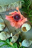 Blüte von türkischen Mohn 'Pink Ruffles' mit Samenkapseln und Schneckenhaus