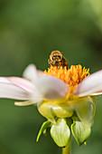Biene auf Blüte von Dahlie Honka