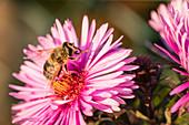 Biene auf Blüte von Aster