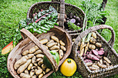 Harvesting baskets with different types of potatoes, carrots, chard and round zucchini