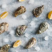 Frische geschlossene Austern mit Zitronenspalten und Eiswürfeln (Aufsicht)