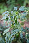 Jalapeno-Pflanze in einem Stadtgarten