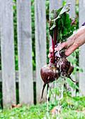 Rote Bete im Garten waschen