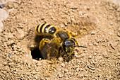 Furchenbiene gräbt Nest