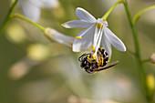 Wildbiene an Blüte von Graslilie