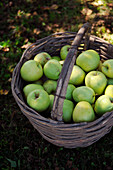 Golden Delicious apples in a basket