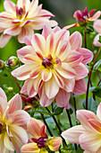 Dahlie 'Happy Butterfly' auf deutsch fröhlicher Schmetterling