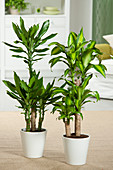 Dracaena Fragrans Mix