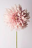 Blüte der großblumigen Dahlie 'Cafe au Lait'