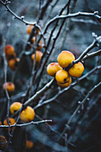 Ornamental quinces (Chaenomeles) on a twig after a frost