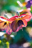 Verblühte Blüte von Christrose mit Samenansatz
