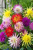 Blüten - Mix aus Kaktusdahlien und Schmuckdahlien