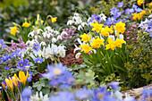 Frühlingsgarten mit Narzissen, Anemonen, Krokus und Netziris