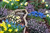 Frühlingsgarten mit Netziris, Krokus, Schneeheide und Narzissen