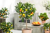 Mandarinenbäumchen 'Clementino'