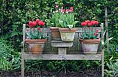 Topf - Arrangement mit Tulpen auf Gartenbank