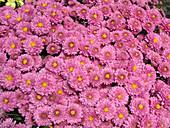 Herbstchrysantheme 'Megan'