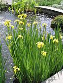 Gelbe Sumpfschwertlilie im Teich