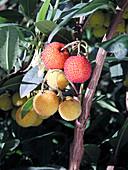 Erdbeerbaum mit Früchten