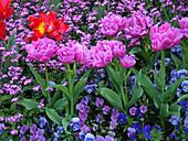 Beet mit gefüllten Tulpen, Hornveilchen und Vergißmeinnicht