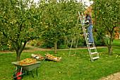 Frau bei der Apfelernte im Obstgarten