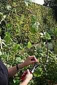 Ranken der Loganbeere an Draht befestigen