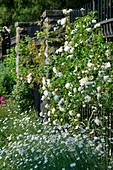 Kletterrose 'White Dawn' am Gartenzaun