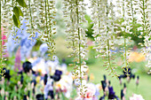 Weißer japanischer Blauregen 'Longissima Alba'