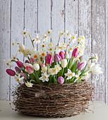 Tulpen und Narzissen in Korb aus Drahtwein