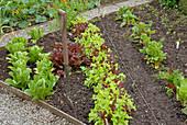 Gemüsebeet mit Salat und Mangold
