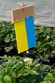 Gelbtafel und Blautafel gegen Trauermücken und weiße Fliegen an Erdbeeren im Gewächshaus