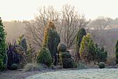 Beet mit Koniferen im winterlichen Garten