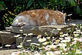 Katze schläft auf Trockenmauer