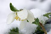 Blüte von Christrose im Schnee
