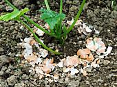 Zucchini Jungpflanze mit Eierschalen vor Schnecken schützen