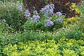 Dolden-Glockenblume, Frauenmantel und Storchschnabel im Cottage Garten