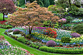 Fächerahorn im bunten Frühlingsbeet mit Tulpen